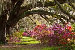 Charleston Plantation Explodes with Spring Color photo by Mark VanDyke Photography