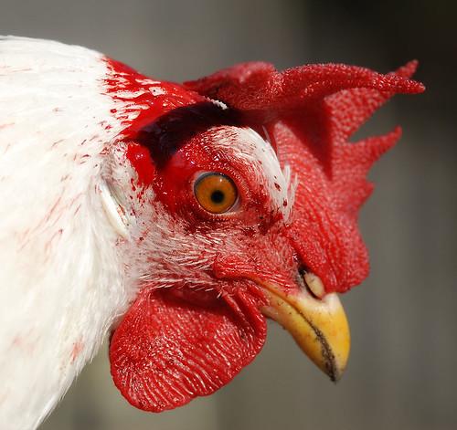 Pecking, Scratching, Bickering & Bleeding