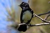 Willie Wagtail 01