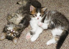 Adorable Kittens Win My Heart! photo by silverbox2: Willow Is Purring
