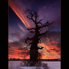 The Cromwell Tree @ Dawn photo by angus clyne