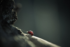 coccinellidae   Gorilla's toy (spiderman vs king kong) photo by cliccath