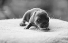 Baby Netherland Dwarf 7 days photo by vastphotography