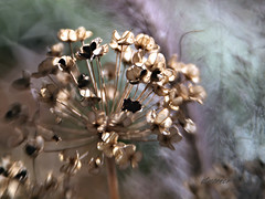 Wild Onion photo by Anne Worner