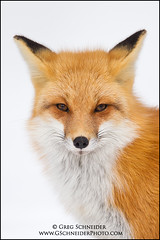 Red Fox - National Geographic Magazine Cover (March 2011) photo by Greg Schneider (gschneiderphoto.com)