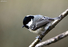 Coal Tit Study,parus ater . Explored photo by claylaner