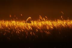Barn Owl - MGL7147 photo by nigel pye