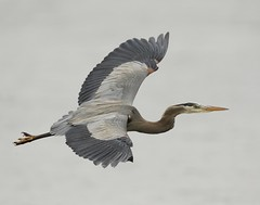 Great Blue Heron  {explored, April 6 # 38 - thank you! } photo by Mawrter