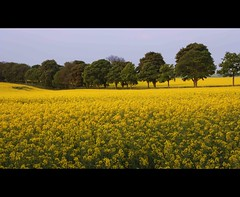 Trees march through the Rapeseed [Explored] photo by Martyn.Smith.