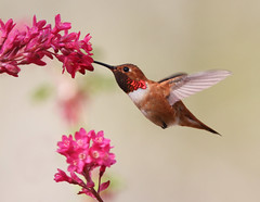 Rufous Hummingbird photo by Canonshooterman