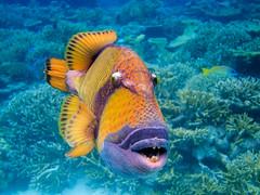 Titan triggerfish photo by wesbran