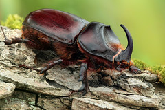 Rhinoceros beetle - Neushoornkever photo by andre de kesel