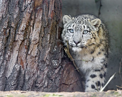 Snow leopard besides the tree photo by Tambako the Jaguar