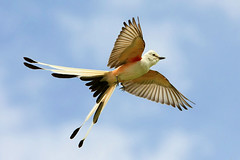 Scissor-tailed Flycatcher Flight photo by TexasEagle