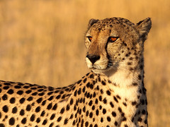 Golden light Cheetah photo by Wild Dogger