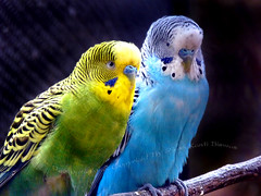 BUDGERIGAR PAIR ( Melopsittacus undulatus ) photo by PIJUSH KANTI BISWAS