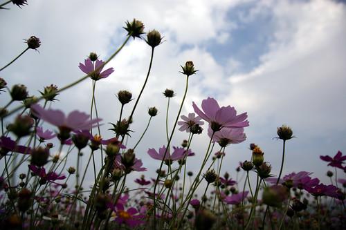 20101205 苗栗銅鑼杭菊季
