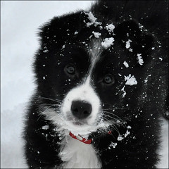 Lady, Border Collie and 13 weeks old photo by Marita Gulklett