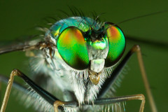 4450_Long legged fly portrait photo by Phi Dao