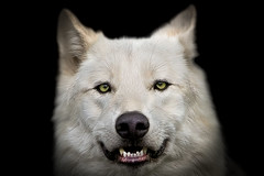 Wolf portrait photo by pattoise