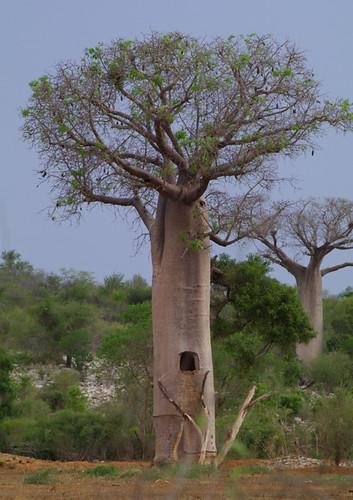 Baobab à fenètre. RN10