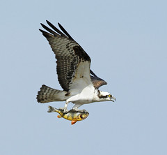 Osprey packing lunch  {explored}  # 27 Thank you! photo by Mawrter