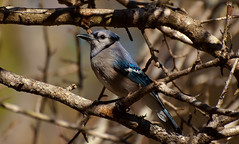 Blue Jay photo by triggzBb