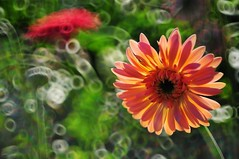 Gerbera Daisy 太陽菊 photo by Melinda ^..^