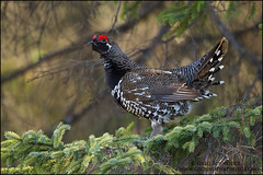 Male Spruce Grouse photo by Greg Schneider (gschneiderphoto.com)