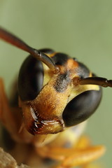 Wasp portrait above nest photo by Gustavo Mazzarollo