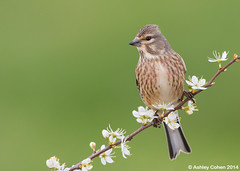 Linnet - Unexpected discovery photo by Ashley Cohen Photography