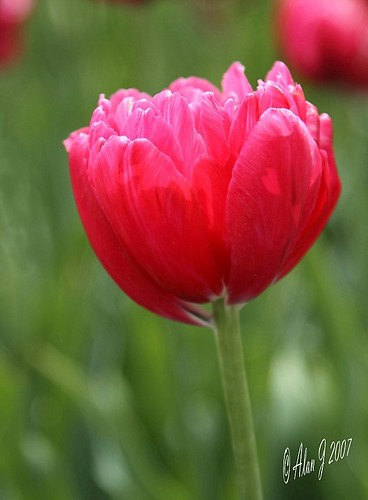 The Heart Of A Tulip photo by alanj2007