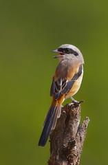 Butcher Bird (Shrike) looks back to the future photo by Rajiv Lather