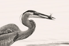 This Heron finally caught a fish! © photo by jeanne.marie.