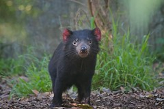 the tasmanian devil photo by 666philly