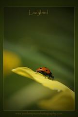 Ladybird photo by Paul Simpson Photography