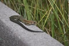 Viviparous lizard photo by erikpaterson