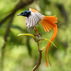 bird of Paradise (asian) photo by Zahoor-Salmi