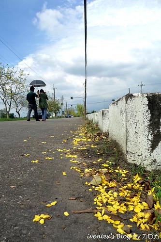 19_台南白河阿勃勒