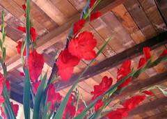 red glads