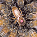 Africanized Honey Bees Are Still on the Move