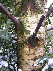 birch tree holly and snow