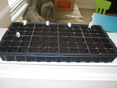picture of my flat of newly planted seeds