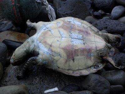 20051217 ウミガメ漂着