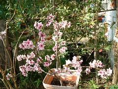 満開の鉢植えの桃の花