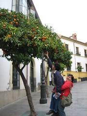 Pokok Limau Yg Bersepah2 Di Tepi2 Jalan, Cordoba, Spain