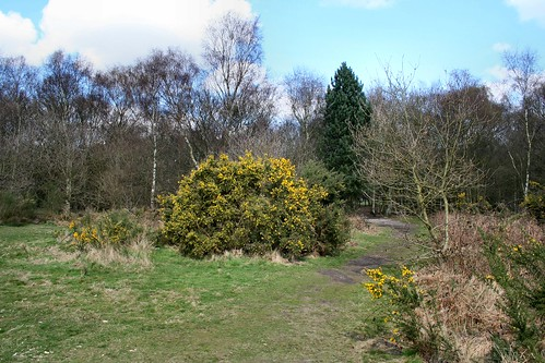 Gorse, Mousehold Heath