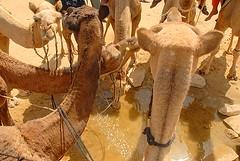 Camels Drinking, Jaisalmer, Rajasthan, India Captured April 12, 2006.