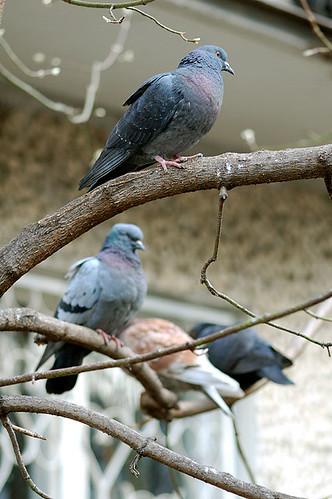 Голуби / Pigeons / Las palomas