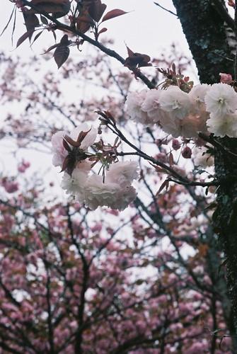 Double flowering cherry tree.